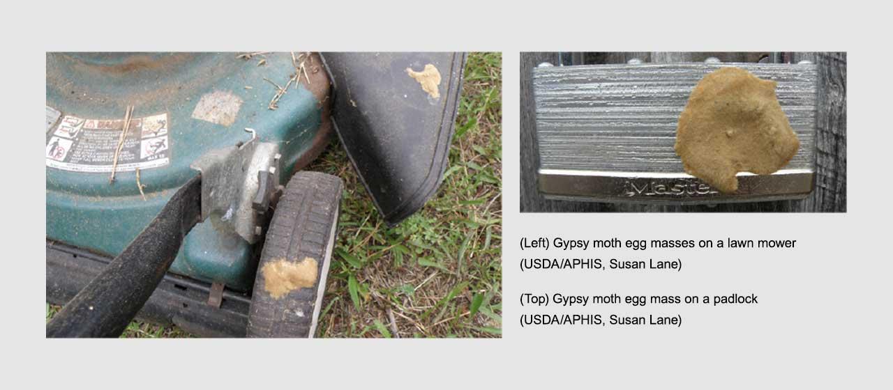 Gypsy Moth Eggs